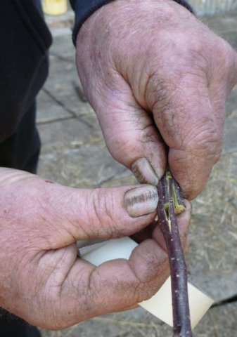 Pruning Workshop - Grafting